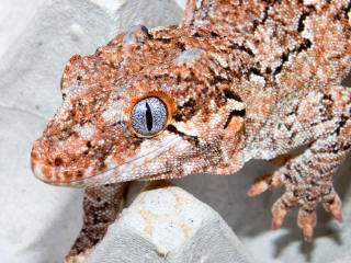Red Banded/Reticulated - Gotta love those silver-blue eyes!