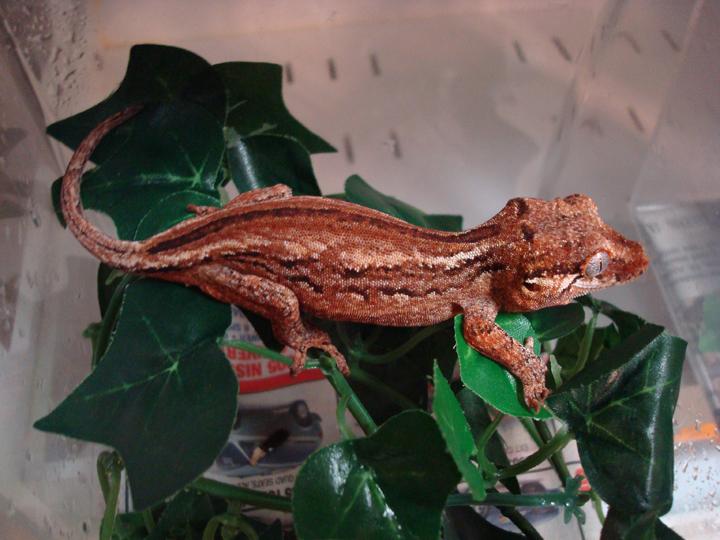 meet the gargoyle gecko