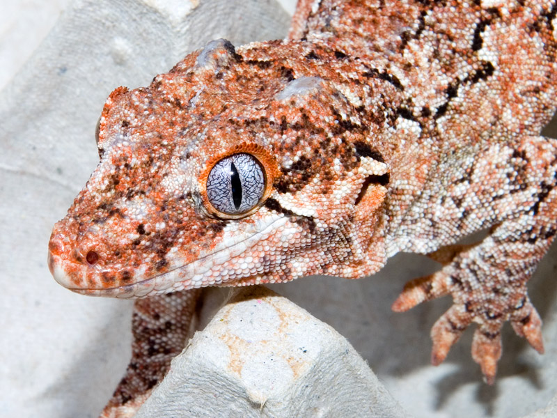 Feeding GArgoyle Gecko