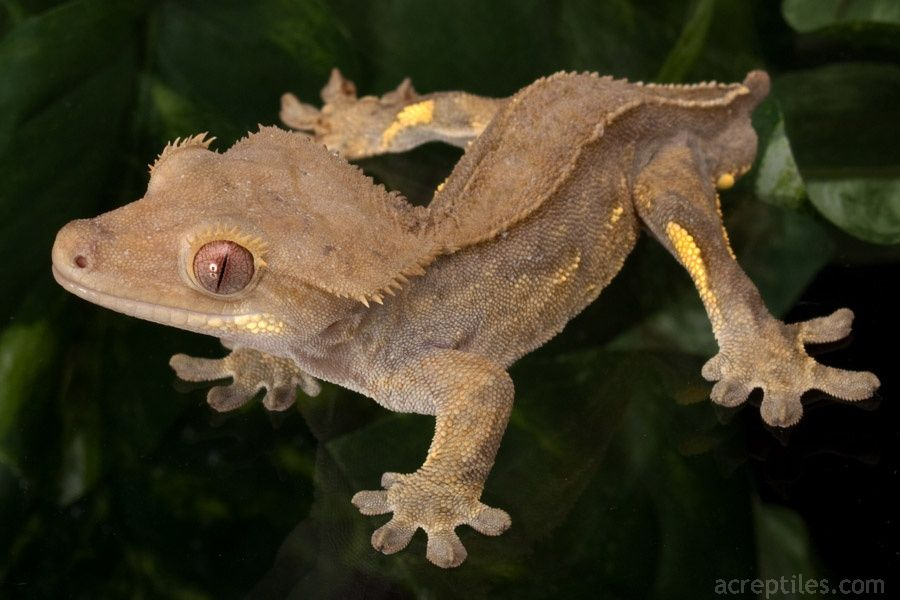 Crested Gecko Care Page 288 & Crested Gecko Lighting - Democraciaejustica