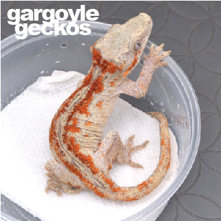 Gargoyle Geckos for Sale