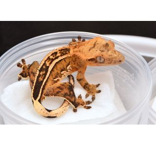High-End Crested Geckos for Sale
