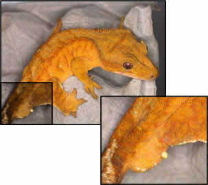 Hemipenile Bulge on Male Crested Gecko