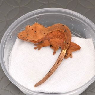 Soft Scale Red Phantom 